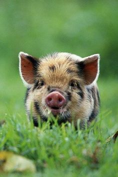 Spotted piggy ♥ - awesome animals