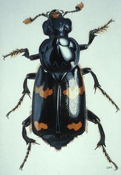 David Maddison Nicrophorus sayi (Coleoptera: Silphidae)