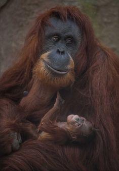 Sumatran orangutan mum Emma with one day old infant at Chester Zoo 3