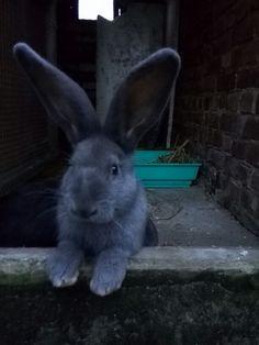 Conti Giant Bunny