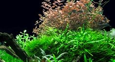 Make your aquarium a success - Tropica Aquarium Plants  Guides on how to, with design layout including list of plants used