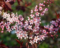 Klehm's Song Sparrow Farm and Nursery--Woody Plants--Prunus padus 'Coloratus'