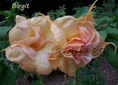 Love this beautiful Angels Trumpet.  Brugmansia.