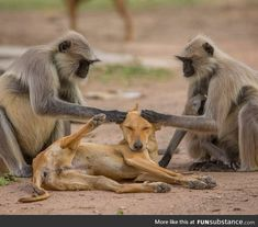 Langur Monkeys grooming a stray dog – funny photoshop Funny Photoshop Pictures, Funny Pictures, Pets Shops, Cute Puppies, Cute Dogs, Canis, Street Dogs, Mundo Animal, Animals Images