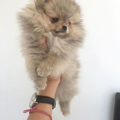 Inquisitive by nature and cute in size, Pomeranians are a true 'toy dog.' Pomeranians are perky and friendly and if you are thinking about getting a puppy Pomeranian Puppy For Sale, Yorkie Puppy, Puppies For Sale, Dogs And Puppies, Mini Pomeranian, Pet Dogs, Dog Cat, Doggies, Animals And Pets