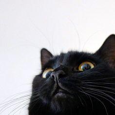 "rina_takei: ""23/02/2016 #Happy #Tuesday !  Of course any cat is usually cute but I particularly like Guinness's chubby cheeks. What part of a cat do you like?  Have a lovely day!  猫ちゃんのすべてが大好きだけど特にこの#口元 がたまらんのです  #ギネスくん  #マズル ぷくぷく  皆さんはどこが好きですか  昨日はにゃんにゃんの日でしたが 私の大好きな#マサムネさん 曰く  今日はにゃんにゃんすりすりの日との事です すりすりしましょーーー  #instadaily #日々 #暮らし#ig_catphoto #にゃんすたぐらむ #にゃんだふるらいふ #ほっぺ"""