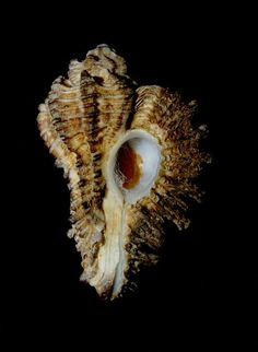 Homalocantha secunda (Lamarck, 1822)  -  C.Urukal