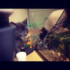 Kitten meets rat