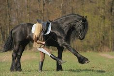 """Most people don't know that Friesian horses are an actual draft breed. The Friesian """"Sport"""" horse has been developed more recently that is more of a light draft. It is a gorgeous breed! All The Pretty Horses, Beautiful Horses, Animals Beautiful, Cute Animals, Clydesdale, Horse Pictures, Animal Pictures, Majestic Horse, Friesian Horse"""