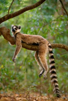 Ring-tailed lemur resting, Madagascar © Frans Lanting