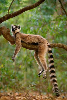 Ring-tailed lemur resting, Madagascar