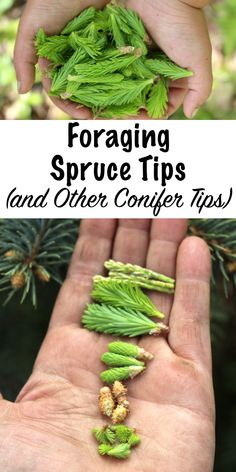 Foraging Spruce Tips and Other Conifer Tips ~ Spruce tips have a bright, citrus flavor that works well in both savory and sweet dishes. Almost all conifer tips are edible, and the only exception is yew trees. Pine and fir tips have their own unique taste, and as an added bonus, all conifer tips have medicinal properties.