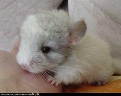 baby chinchilla