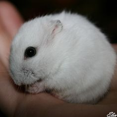 Dwarf Hamster [D:]