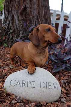 Here's my dachshund Merak being super inspirational