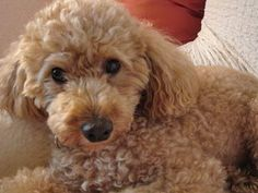 Is children's Tylenol OK for my poodle? | Pearl.com (click for answer) #dog