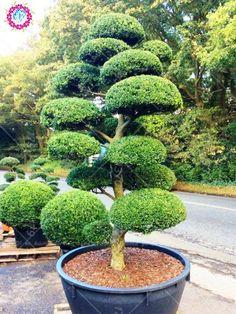 New varieties 50pcs Junipe Bonsai tree four seasons Evergreen perennial Rare woody plants Diy Home garden pot plants