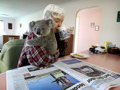 An ordinary day in the officeforVolunteer Joyce Westboy, whohas her morning coffee with an orphaned koala at the Port Macquarie Koala Hospital - Australia.