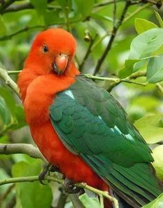 'Australian King Parrot Sitting Pretty' by Margaret Stockdale All Birds, Cute Birds, Pretty Birds, Beautiful Birds, Animals Beautiful, Colorful Parrots, Colorful Birds, Australian Parrots, Parrot Pet