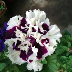 Petunia double color