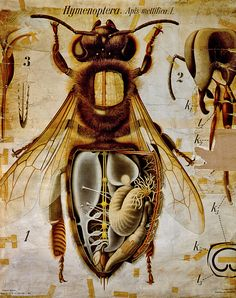 Anatomy of the Honey Bee, Pfurtschellers Zoological Wall Chart by Paul Pfurtscheller - Reproduction Oil Painting I Love Bees, Birds And The Bees, Bees And Wasps, Traditional Artwork, Bee Art, Save The Bees, Bee Happy, Bees Knees, Bee Keeping