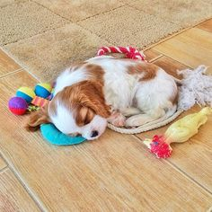 This sleepy king charles spaniel who makes anyone want to snuggle with him. Cavalier King Charles Blenheim, King Charles Puppy, King Spaniel, Spaniel Puppies, Cocker Spaniel, Cute Puppies, Cute Dogs, Corgi Puppies, Chihuahua Dogs