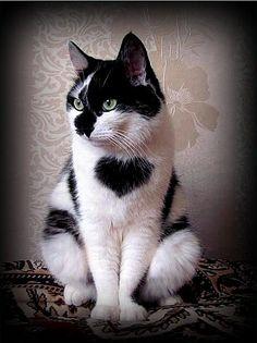 siyah-beyaz-kedi_1224137.jpg (400×535)