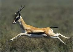 fast like a gazelle