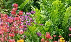 A great combination for Shade gardens, Candelabra primroses, Candelabra Primulas, Ostrich Fern. Bog Garden, Ferns Garden, Garden Shrubs, Garden Cottage, Shade Garden, Rain Garden, Backyard Shade, Water Garden, Diy Pergola