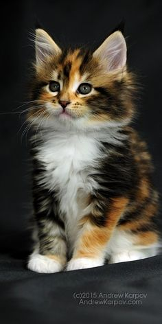 65 Ideas Cats Breeds Calico Maine Coon For 2019 Cute Baby Cats, Cute Cats And Kittens, Cute Baby Animals, Kittens Cutest, Funny Animals, Funny Kittens, Pretty Cats, Beautiful Cats, Animals Beautiful