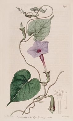 Ipomoea alba L. var. purpurascens [as Ipomoea bona-nox L. var. purpurascens] moonflower. Botanical Register, vol. 4: t. 290 (1818) S. Edwards