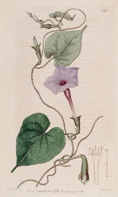 Ipomoea alba L. var. purpurascens [as Ipomoea bona-nox L. var. purpurascens] moonflower. Botanical Register, vol. 4: t. 290 (1818) S. Edwards