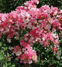 Peppermint Dwarf Crepe Myrtle. Midway Nursery - Crape (crepe) & Wax Myrtles Texas Landscaping, Landscaping Plants, Landscaping Ideas, Trees For Front Yard, Bushes And Shrubs, Dwarf Plants, Drought Tolerant Landscape, Autumn Garden, Small Trees