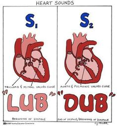 "The ""lub"" ""dub"" of a heart is actually the valves in the heart closing. (Sorry had to pin! I'm obsessed with anatomy)"
