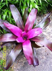 bromeliad purple star- in pots around the pool