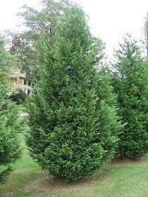 Trees Planet: Cupressocyparis leylandii - Leyland Cypress Evergreen Love, Evergreen Trees, Privacy Landscaping, Garden Landscaping, Leylandii Hedge, Monterey Cypress, Alternative Christmas Tree, Vascular Plant, Cypress Trees