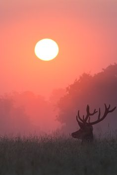 A red deer buck in Richmond Park, London, England. Photographed by Alex Saberi