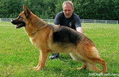 The German Shepherd Dog's physique is very well suited to athletic competition.