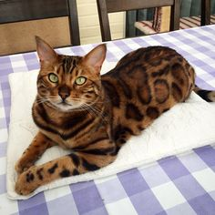 Découvrez Thor, le chat avec le pelage «tigre» le plus beau au monde !