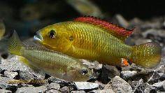 1Pseudocrenilabrus_multicolor