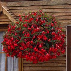 Begonia Firewings Red