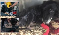 Strangers unite to save 'absolutely hopeless' dog stuck in tar pit #DailyMail