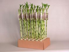 Lucky Bamboo Stems x 3. 50cm tall Lucky Bamboo, Air Plants, Houseplants, Home And Garden, New Homes, Ps3, Playstation, Stems, Candles