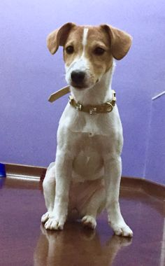 Mais Amy - Jack Russell Terrier