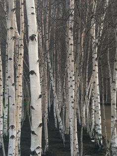 watercolor birch trees - Saferbrowser Yahoo Image Search Results