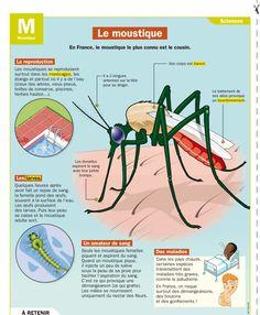 Fiche exposés : Le moustique