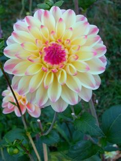 Dahlia 'Daytona' - love the delicacy and blending of color. Think I'll try it next year :) Beautiful Flowers Garden, Rare Flowers, Flowers Nature, Exotic Flowers, Cut Flowers, Amazing Flowers, Pretty Flowers, Dahlia Flower, Flower Art