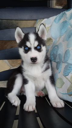 Lancaster Puppies makes it easy to find healthy puppies from reputable dog breeders across Pennsylvania, Ohio, and more. Find your puppy today! Tiny Puppies, Fluffy Puppies, Cute Dogs And Puppies, Puppies For Sale, Puppies Tips, Adorable Puppies, Siberian Husky Puppies, Husky Puppy, Dalmatian Puppies