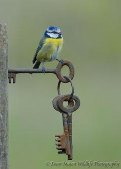 "I am Lord Blue tit, I hold the keys. / Photo ""Blue Tit on Gate Keys"" by Dean Mason Pretty Birds, Love Birds, Beautiful Birds, Vogel Gif, Old Keys, Blue Tit, Tier Fotos, Little Birds, Bird Watching"
