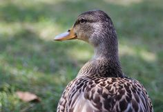 duck\profile\animal\plumage